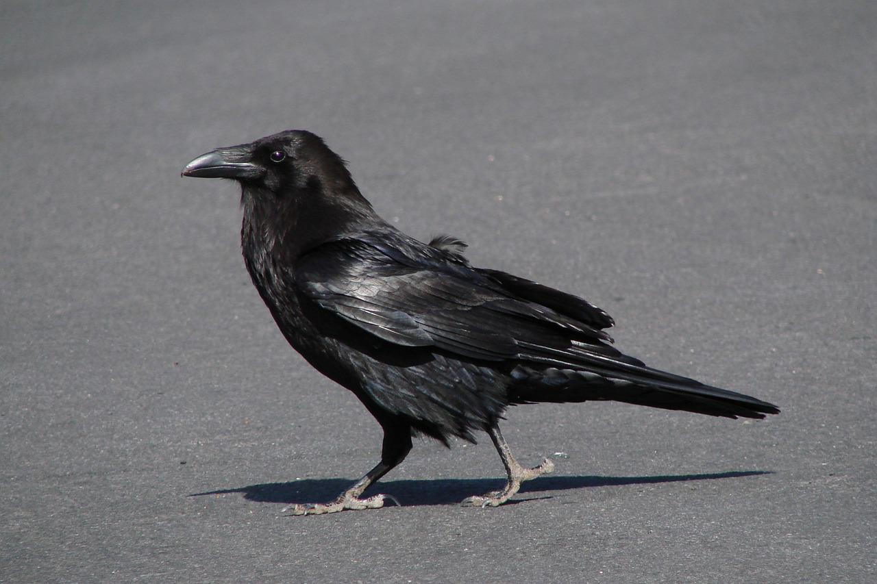 raven 98244 1280 - raven-98244_1280