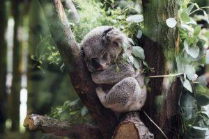 koala 300x200 - Repos de fêtes